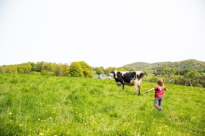 A cow on a Vermont green hill with little girl running towards her