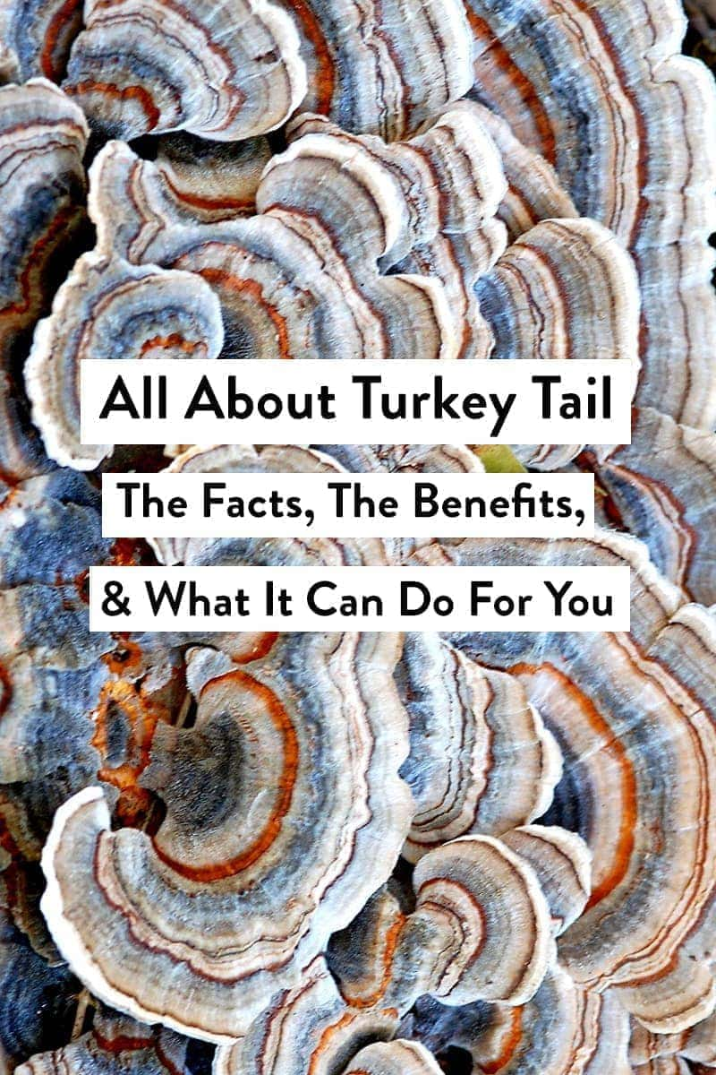 Brightly colored blue and orange turkey tail mushrooms with a text overlay that reads All About Turkey Tail: The Facts, The Benefits, & What It Can Do For You